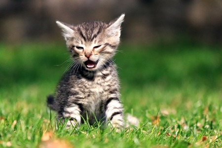 Little tabby kitten crying while sitting on green grass in the yard Banco de Imagens