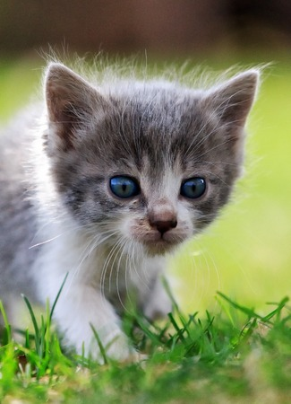 Large portrait of a white and gray kitten on background green grass Banco de Imagens