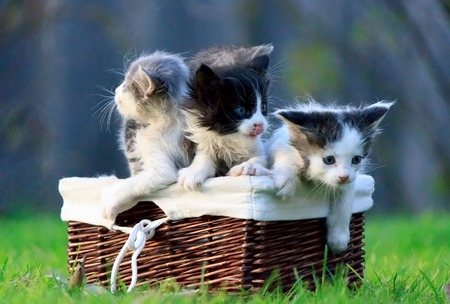 Three kittens sitting in wicker basket on green grass. One of them licked. The other trying to get out.