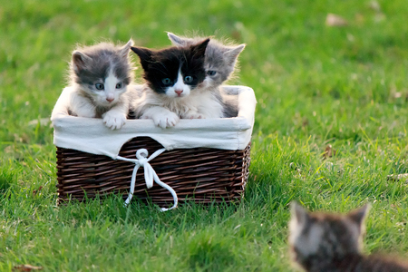 Kitten calls his friends who are sitting in a wicker basket on an adventure Stock Photo