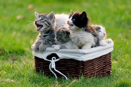 Hungry kittens meowing and asking to eat, sitting in a wooden basket and looking up Banco de Imagens