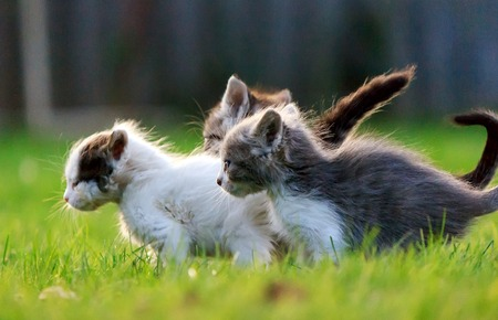 Group of three Kittens run on green grass