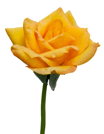 yellow roses: Yellow rose with water drop on white background