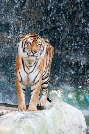 Tiger standing on the rock near the waterfall  photo