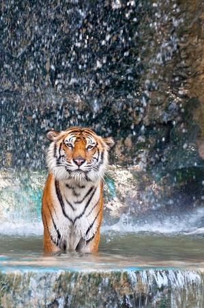 Der Tiger im Wasser und Wasserfall Lizenzfreie Bilder