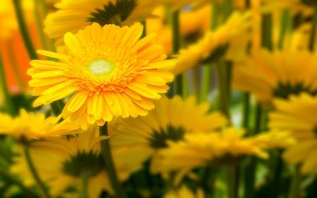 Beautiful daisy gerbera flower Stock Photo
