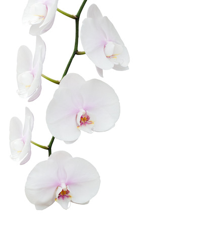White orchid isolated on white background Banque d'images