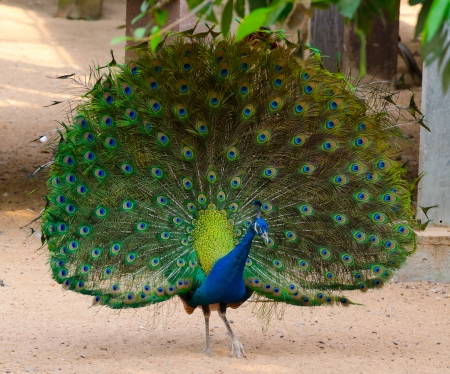 Beautiful peacock with fully fanned tail photo
