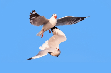 hijacked: Business competition concept, two seagull bird food snatch isolated on blue Stock Photo