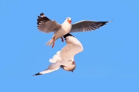arracher: concept de concurrence entre les entreprises, deux mouette arrach� des aliments pour oiseaux isol� sur fond bleu