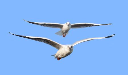 coordinacion: Juntos podemos volar, dos p�jaros fiying aislado en azul, el concepto de concertaci�n de negocios Foto de archivo