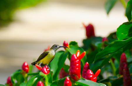 sunbird: olive-backed sunbird Stock Photo