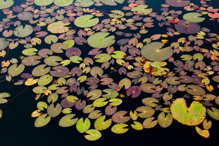 lotus leaves on the surface of the water Stock Photo - 12665679