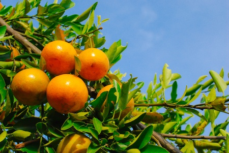 Ripe oranges are hanging under the trees Stock Photo - 13423157
