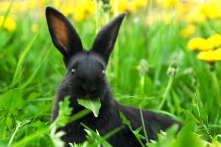 Black rabbit in green grass Stock Photo - 13559068