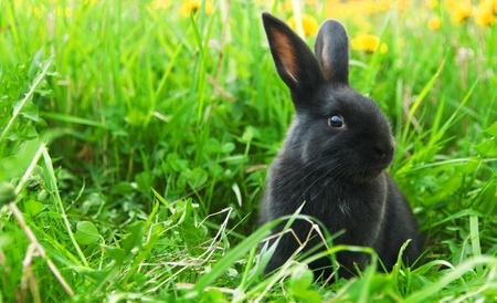 lapin: Lapin noir dans l'herbe verte Banque d'images