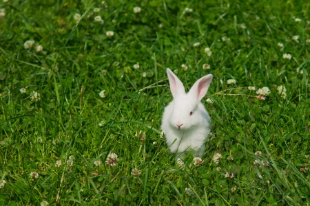 lapin blanc: Lapin blanc sur une pelouse verte