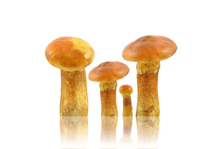 bolete: bolete on white background