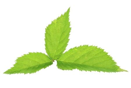 blackberry leaf on a white background