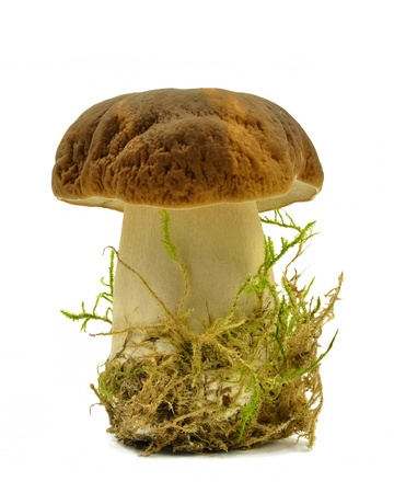 boletus on a white background photo