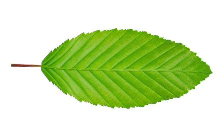 hornbeam: hornbeam leaf isolated on white background