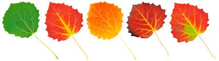 aspen leaf: leaves of aspen