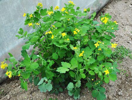 Celandine, Chelidonium majus in the garden, flowers