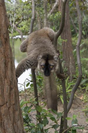Madagascar. Lemurs Фото со стока