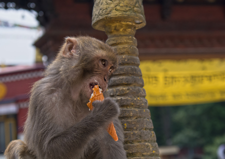 monkey, animal, capuchin, face portrait tree Monkey East ice cream Stock Photo