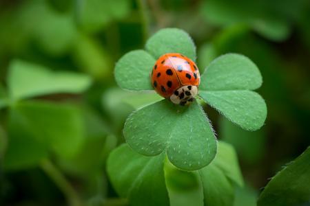 Macro di una coccinella che si siede su una foglia verde del trifoglio