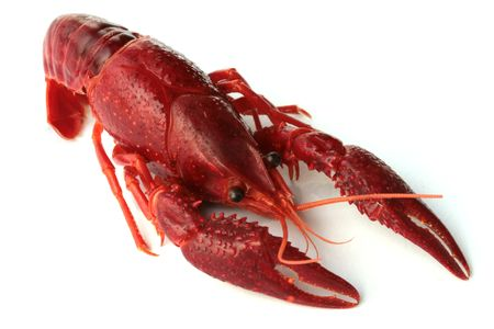 red crawfish on white background photo