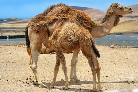 camel near mother camel in the desert