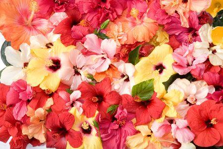 Hibiscus Blüten Standard-Bild - 4137708