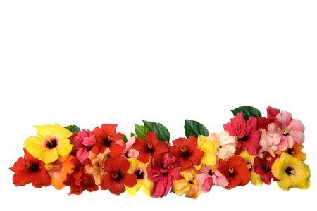 Hibiscus Blüten Standard-Bild - 4137709