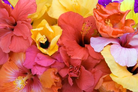 Tropical flowers - Hibiscus  and Bougainvillea photo