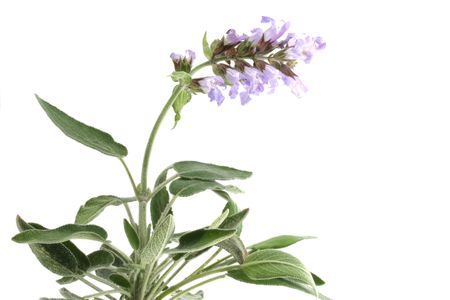 Sage with flowers isolated on white background photo