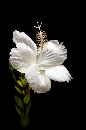 white Hibiscus on black background  Stockfoto