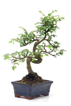 Bonsai verde chino de árbol aislado en fondo blanco  Foto de archivo - 8702998