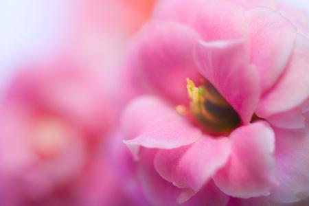 Rosa Blumen von Kalanchoe Makro-Shutter mit weicher Fokus  Lizenzfreie Bilder