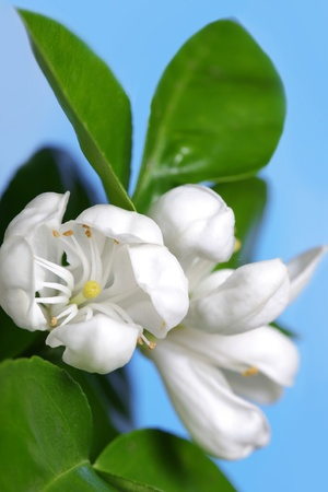 Orange tree blossom  photo