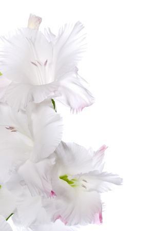 gladiolus: Beautiful White Gladiolus  Stock Photo