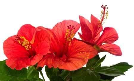 hibisco: rojo hibisco aislada sobre el fondo blanco  Foto de archivo