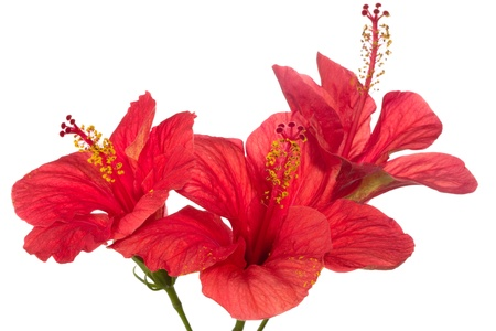 hibiscus: rojo hibisco aislada sobre el fondo blanco  Foto de archivo