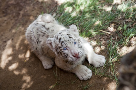 baby white tiger 33 days old photo