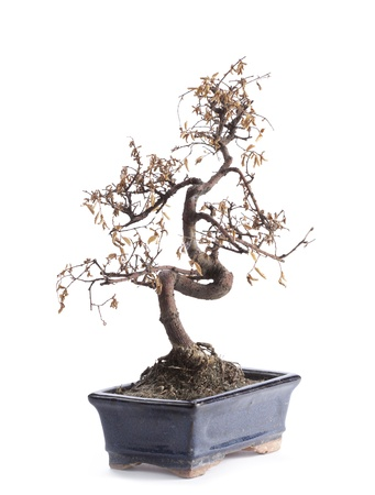 deceased bonsai tree