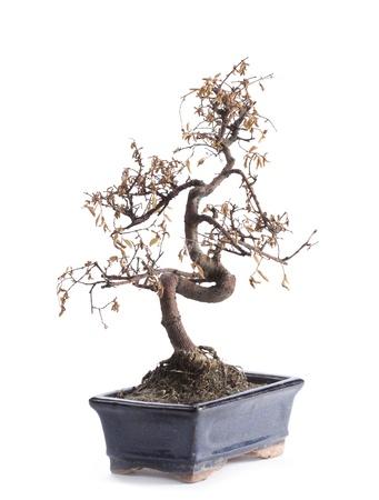 dode bladeren: overleden bonsai boom