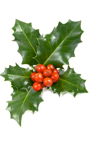 red bush: Real holly berries and leave