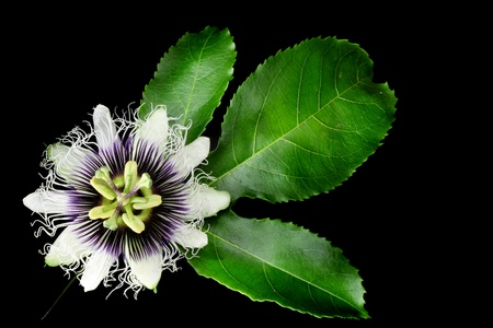 passion fruit: Passion Fruit Flower Isolated on Black