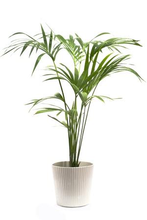 Kentia Palm Tree Standard-Bild