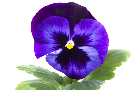 blue purple pansy isolated over white  photo